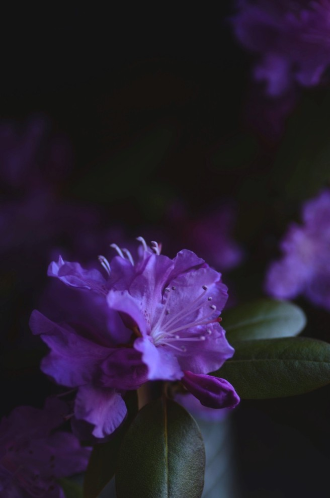 rhododendron | conifères & feuillus