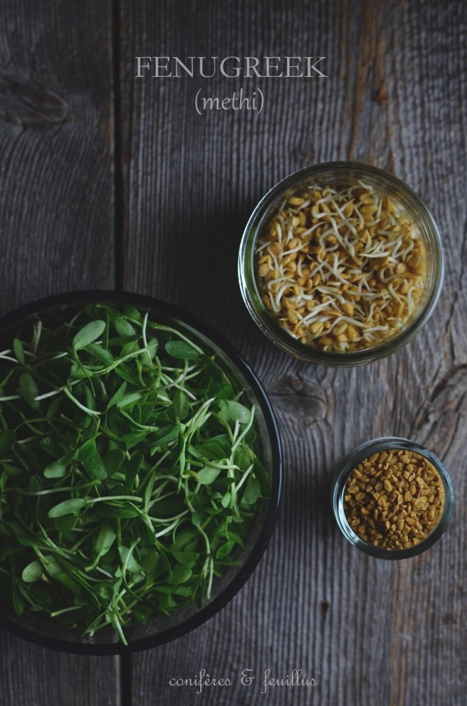 methi or fenugreek | conifères & feuillus